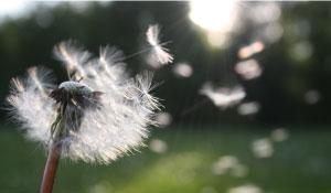 Dandelion-cropped2